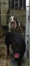 Vendo filhotes De Pitbull com ou sem pedigree