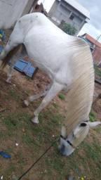 Vendo égua cruzada com quarto de milha puro