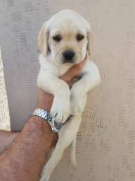 Labrador - Garantias de Saúde . Pronta entrega
