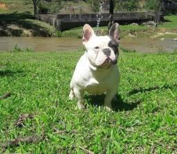 Bulldog  blue pird disponivel para cruza