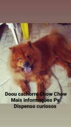 Doando cachorro chow chow