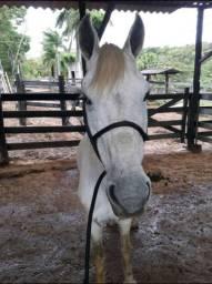 VENDO: Dois cavalos e uma égua prenha (10 meses)