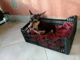 Pinscher n 1 fêmea adulta