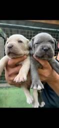 Venda de lindos filhotes de cane corso!