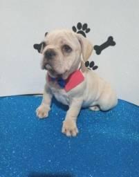 Bulldog francês macho em até 10x