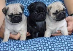 Lindos bebês Pug