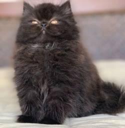 Show de Gato persa macho filhote Blak extremado 85 dias super peludo lindo.
