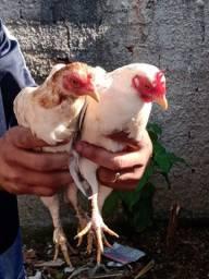 Vendo galo e galinhas