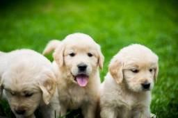 golden retriever com vet gratuita e pedigree