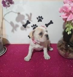 Bulldog francês macho e fêmea