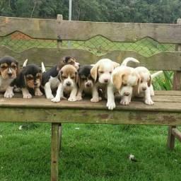 Beagle ingles RO