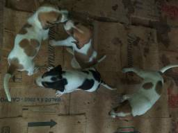 Vende-se cachorros (R$ 250 CADA)