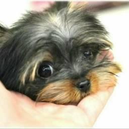 Yorkshire Terrier princesas disponíveis