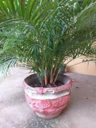 Vende planta palmeira. De salão