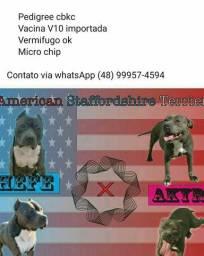 Macho de American Staffordshire Terrier disponível