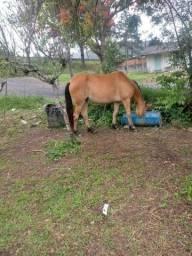 Vendo esta egua ela é bem msnsa boa pra cavalgada