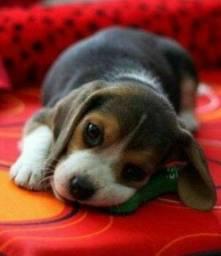 Beagle 13 Polegadas Filhotes Garantia de saúde & Pedigree