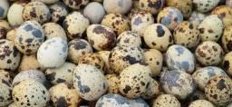 Ovos fecundados de codorna gigante mestiça