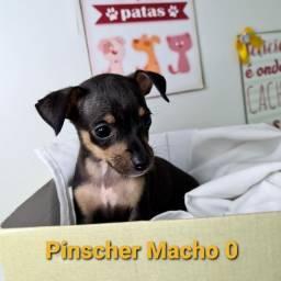Pinscher disponíveis em nossa loja