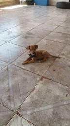 Cachorrinha linda brincalhona e carinhosa própria pra criança raça pincher