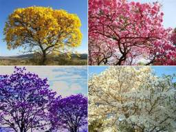 Sementes de ipês branco, rosa, amarelo, roxo