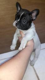 Belo bulldog