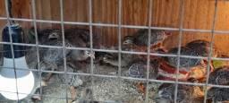 Filhote de galinha, pato, ganso e galinha da Angola