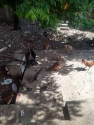 14 cabeça de galinha por 275 reais
