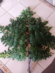 Folhas frescas de moringa oleifera