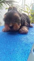 Filhote de Yorkshire Terrier (ÚLTIMO - MACHO)