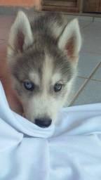 Filhote husky siberiano puro