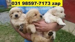 Canil Filhotes Cães Diferenciados BH Golden Pastor Akita Rottweiler Labrador