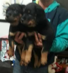 Filhotes de rottweiler alemao com pedigree