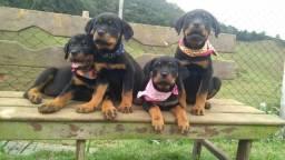 Filhotes de Rottweiler-Canil Canaã
