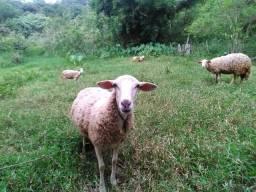 Ovelhas( aceito cartão)