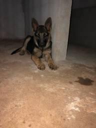 Filhote pastor alemão ( cadela )