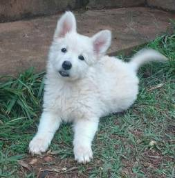 Filhotinhos de cães da raça Pastor Branco Suíço, com pedigree e garantia