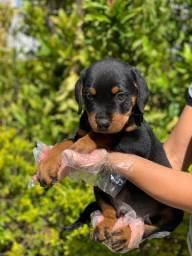 Rottweiler macho a pronto entrega (11)9.7796.1054