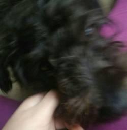 Cachorrinho macho poodle com o nome snup