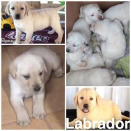Labrador com pedgree e microchip