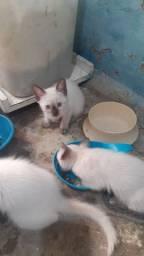 Gatinhos Miscigenado com Siamês para adoção