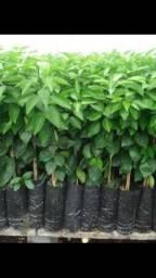 Vende muda plantas jardim e frutíferas