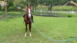 Cavalo castrado de marcha picada
