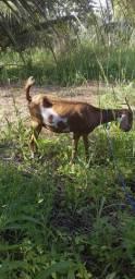 Vendo bode e cabras