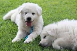 Cães filhotes de Pastor Branco Suíço, com pedigree, garantia e recibo.