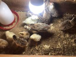 Pintos de galinha ganisses,caipira, angolistas e codornas