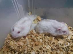 Hamsters Fêmeas