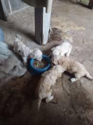 Vendo filhotes poodle toy pequeno