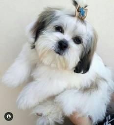 cachorro shih-tzu