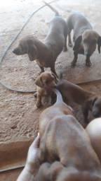 Vendo um filhote d salsichinha com 2 mês macho